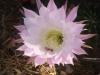 Kakteen Blüten im Garten mit Meerblick.JPG